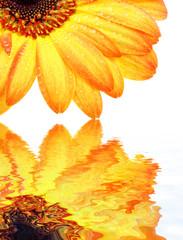fleur de gerbera orange fond blanc