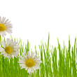 daisy flower spring, floral design and green grass on white
