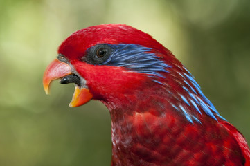 Blue-streaked Lory, eos reticulata