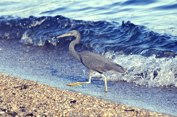Little blue heron coming out of the water