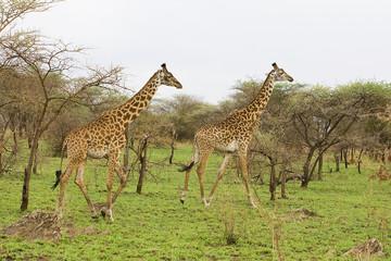 Wild Giraffe Pair