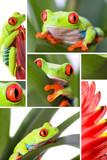 rainette aux yeux rouges (Agalychnis callidryas) isolé sur fond poster