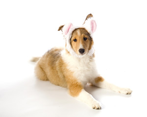 Easter Sheltie