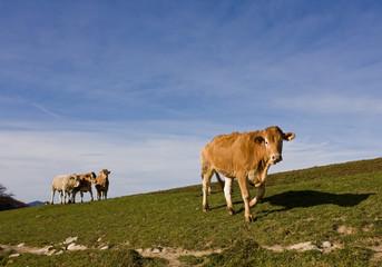 Vacas paseando por el prado