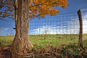 Beautiful golden Fall tree with fence, pasture and blue sky