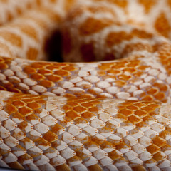 Close-up of corn snakeskin or red rat snakeskin