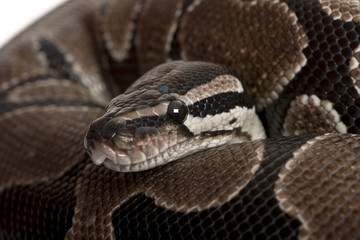 Close-up of Python regius snake