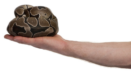 Side view of Python regius snake in palm of hand
