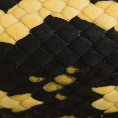 Close-up of Morelia spilota variegata snake scales