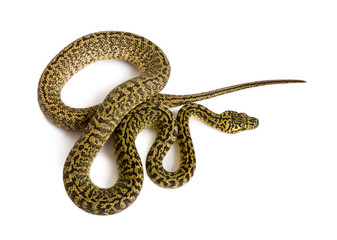 High angle view of Morelia spilota variegata