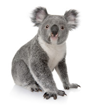 "Постер, картина, фотообои ""Side view of Young koala, Phascolarctos cinereus, sitting"""