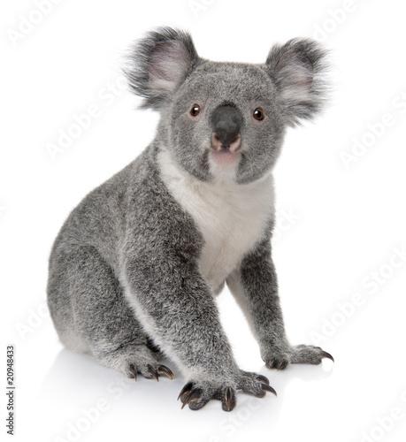Side view of Young koala, Phascolarctos cinereus, sitting - 20948433