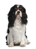 Cavalier King Charles, sitting in front of white background