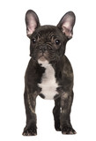 French Bulldog puppy, standing in front of white background