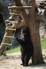 american black bear playing