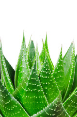 Aloe. Macro