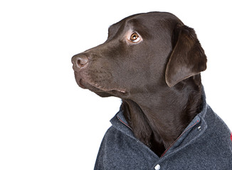 Handsome Chocolate Labrador in Grey Jumper