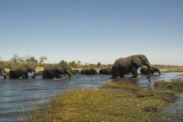 Elefantes cruzando el rio Chobe. Delta del Okavango.
