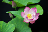 Pink Lotus with Leaf