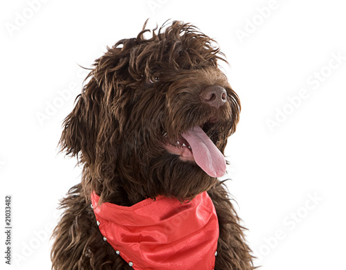 Cute Labradoodle Puppy with Red Scarf