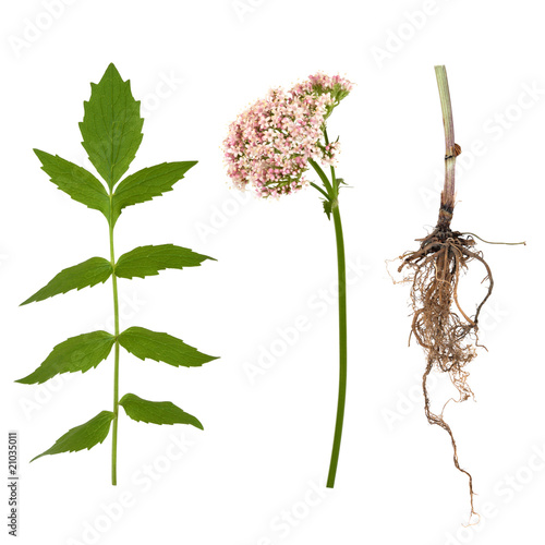 Valerian Leaf, Root and Flower