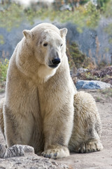 Sitting ice- or polarbear