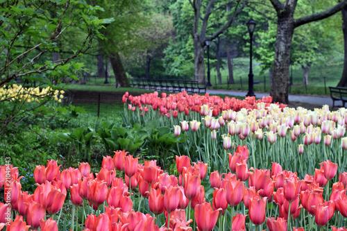 wiosenne-tulipany-w-deszczu