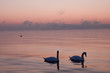 Two romantic swans in the beautifull sunset