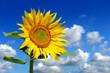 Sonnenblume 101