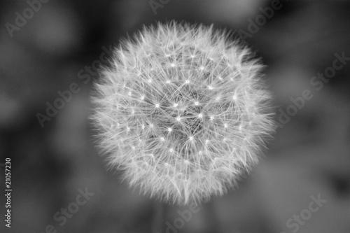 Pusteblume als Symbol für ie Vergänglichkeit S/W - 21057230