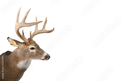 Foto op Plexiglas Hert Large whitetail buck isolated on white background