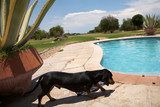 Dog and a swimming pool in Namibia, Harnas Foundation poster