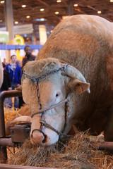 animal ferme vache 18