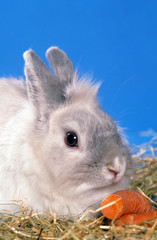 lapin nain angora en train de grignoter une carotte