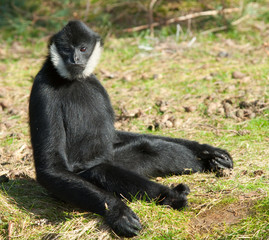 Male White-cheeked gibbon