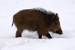 bete rousse dans la neige