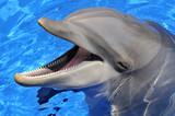 Fototapety Tête d'un grand dauphin la bouche ouverte