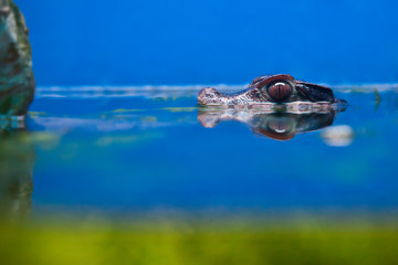 small crocodile head over water