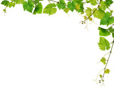 Fresh grapevine border, isolated