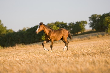 Paint Horse Fohlen auf Stoppelfeld