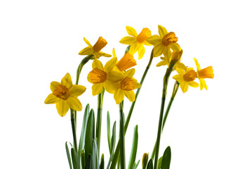 Colorful daffodils