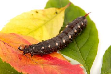 Caterpillar In Autumn Colors
