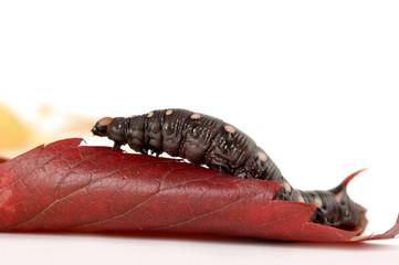 Caterpillar On Red Leaf