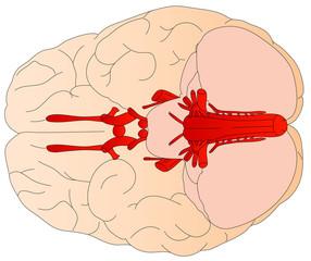 Diagram of the human brain.