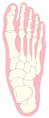 Bone anatomy of human foot