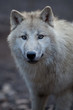 Close up view of a male wolf (Canis lupus).