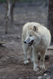Close up view of a male wolf (Canis lupus). poster