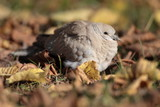 Eurasian Collared Dove also known as turtledove poster
