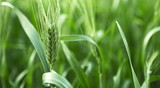 Unripe green ears of barley in a farm field poster