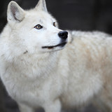 Arctic Wolf (Canis lupus arctos) aka Polar Wolf or White Wolf - poster
